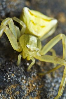 Free Yellow Crab Spider Stock Photo - 26829900