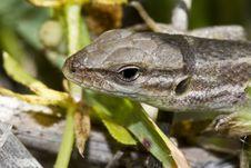 Large Psammodromus &x28;psammodromus Algirus&x29; Lizard Royalty Free Stock Photos