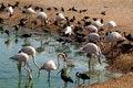 Free Pink Flamingos And Black Herons Stock Photography - 26830222