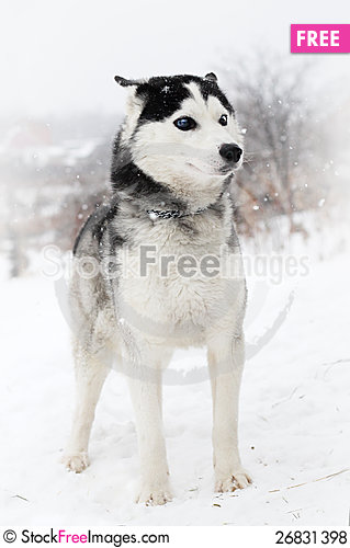 Free Siberian Huskies Royalty Free Stock Photos - 26831398