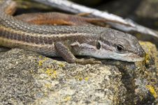 Large Psammodromus &x28;psammodromus Algirus&x29; Lizard Stock Photography