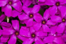 Free Pink-sorrel &x28;Oxalis Articulata&x29; Royalty Free Stock Image - 26830146