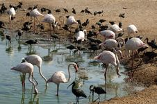 Free Pink Flamingos And Black Herons Stock Photography - 26830222