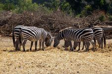 Free Grazing Zebras Royalty Free Stock Photos - 26830328