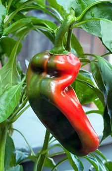 Free Ripening Red Bell Pepper Stock Photos - 26830603
