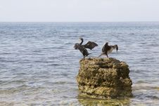 Free Pair Of Cormorant Stock Image - 26831251