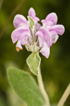 Purple Phlomis &x28;Phlomis Purpurea&x29; Royalty Free Stock Photos