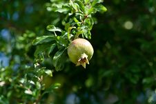 Free Pomegranate On Tree Royalty Free Stock Image - 26832496