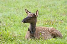 Free Baby Elk With Spots. Royalty Free Stock Image - 26834536