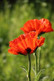 Free Red Poppy. Royalty Free Stock Images - 26834599