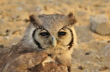 Free Owl, Giant Eagle - African Feathers Royalty Free Stock Photography - 26837007