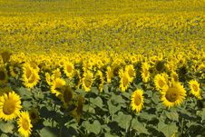 Free Sea Of Sunflowers Stock Photography - 26837782