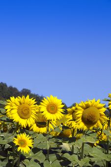 Free Sunflowers And Sky &x28;room For Text&x29; Royalty Free Stock Photo - 26837785