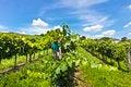 Free Vineyard Of Pinot Blanc Grape Royalty Free Stock Photography - 26843087