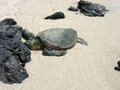 Free Turtle On A White Sandy Beach Stock Photo - 26849570