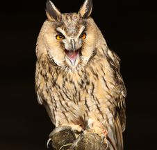 Free Long Eared Owl Royalty Free Stock Images - 26841189