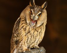 Free Long Eared Owl Stock Photo - 26841200
