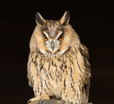 Free Long Eared Owl Stock Photography - 26841212
