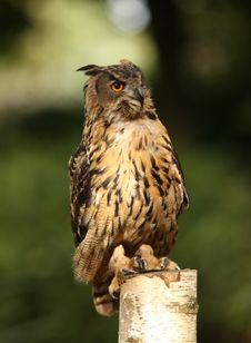 Free Eagle Owl Stock Image - 26841521