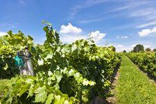 Free Vineyard Of Pinot Blanc Grape Stock Photography - 26843062