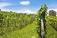 Free Vineyard Of Cabernet Sauvignon Grape Stock Images - 26843084