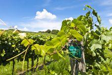 Free Vineyard Of Pinot Blanc Grape Royalty Free Stock Images - 26843089