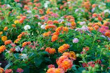 Free Lantana Flowers Royalty Free Stock Photos - 26844748