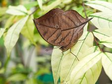 Free Oakleaf Butterfly Stock Images - 26844984