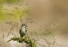 Free Red-backed Shrike Stock Image - 26845121