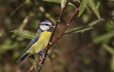 Free Blue Tit On The Tree Stock Images - 26845564