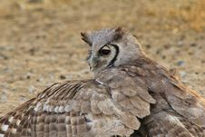 Free Owl, Giant Eagle - African Stealth Stock Image - 26847531