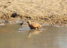 Free Sandgrouse, Namaqua - African Spots Stock Image - 26847801