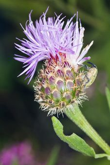 Free Cynara Algarbiensis Flower Royalty Free Stock Photo - 26849375