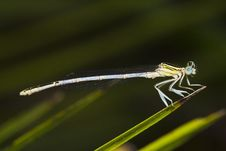 Free Damselfly Insect Stock Photography - 26849442