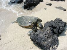 Turtle On A White Sandy Beach Stock Image