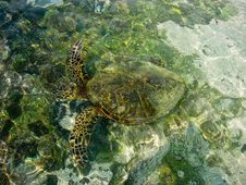 Free Turtle Swimming Royalty Free Stock Photography - 26849587