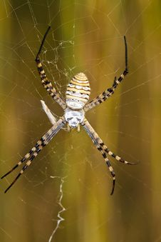 Free Orb-weaving Spider &x28;Argiope Bruennichi&x29; Royalty Free Stock Photo - 26849825