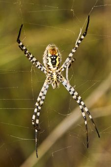 Free Orb-weaving Spider &x28;Argiope Bruennichi&x29; Stock Photography - 26849892