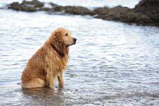 Free Labrador Retriever Royalty Free Stock Image - 26849896