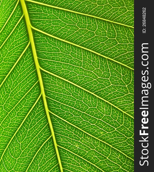 Green leaf surface close up. Background.