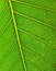 Free Green Leaf Surface Close Up. Background. Stock Photography - 26848262