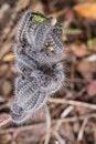 Free Euphydryas Aurinia Caterpillar Royalty Free Stock Photo - 26855775