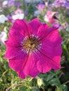 Free Petunia Royalty Free Stock Image - 26855946
