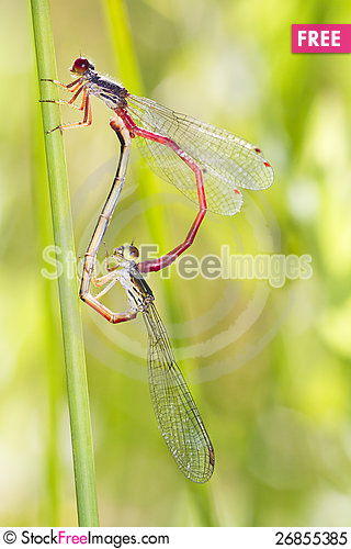 Free Two Small Red Damselfly &x28;Ceriagrion Tenellum&x29; Mating Royalty Free Stock Photo - 26855385