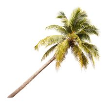 Free Coconut Tree Stock Photo - 26850300
