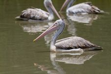Free Brown Pelican Stock Photography - 26851682