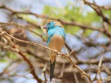 Free Blue Waxbill - Thorny Seat Royalty Free Stock Photos - 26852598