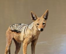 Free Jackal, Black-bakced - Undertaker Of Africa Stock Photo - 26854530