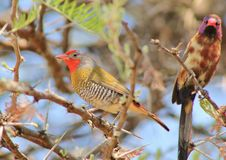 Free Melba Finch And Violet-eared Waxbill - Red Face Royalty Free Stock Photo - 26854615
