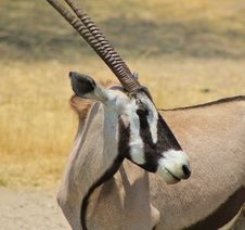Free Oryx - Gemsbuck - Curls And Stripes Royalty Free Stock Photos - 26855138